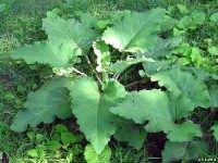 Изображение - Лечение коленного сустава лавровым листом lopuh-dlya