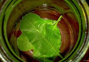 листья хрена полезные свойства и противопоказания