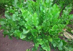 листья хрена при остеохондрозе