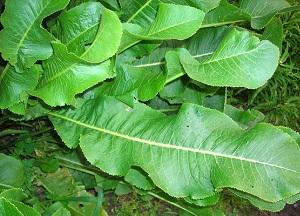 правила применения листьев хрена от отложения солей